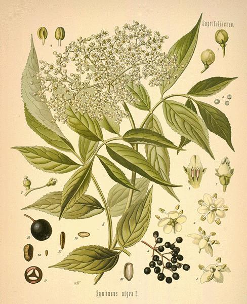 botanical elderflower picture